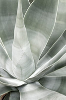 Fox Tail Agave